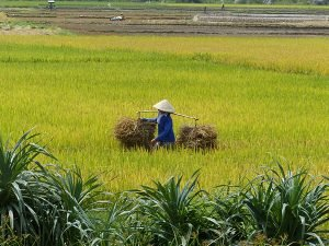 grasshopper-adventures-rice-field-vietnama