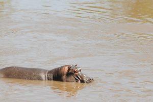 win-hippo-in-water