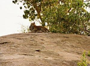 Serengeti wrestling leopard cubs