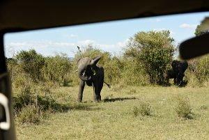 African Elephant Mock charge