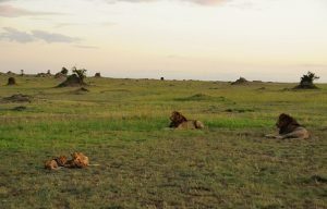 lions Serengeti National Park