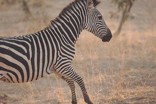 Mfuwe lodge Zambia Safari zebra